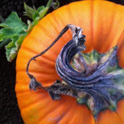 pumpkin-swirl250